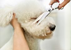 Groomer in a grooming salon trimming a white dog. Groomer in a grooming salon trimming the long curly coat of a white dog royalty free stock images