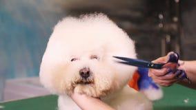 Groomer macht einen stilvollen Haarschnitt von Hund Bichon Frise stock footage
