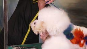 Groomer macht einen stilvollen Haarschnitt von Hund Bichon Frise stock video
