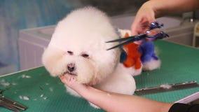 Groomer macht einen stilvollen Haarschnitt von vollblütigem Hund Bichon Frise stock footage