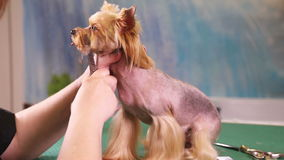 Groomer makes a dog hairstyle stock footage