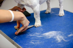 Groomer making haircut with scissors to dog on grooming table. Groomer cutting fur on dog`s paw Stock Photography