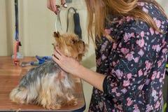 Groomer mit Scheren, York-Terrier lizenzfreie stockfotos