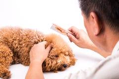 Groomer peignant le chien, avec la fourrure De-embrouillée coincée sur le peigne Images stock