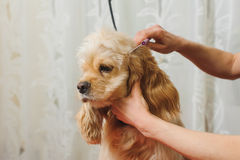 Groomer prepares dog for grooming. Woman groomer combs Young purebred Cocker Spaniel on grooming table for a a hairstyle in the room Royalty Free Stock Images