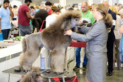 Groomer prepares dog to the show Stock Image