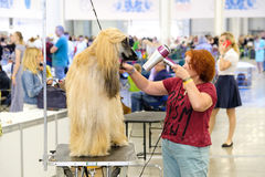 Groomer prepares dog to the show Royalty Free Stock Photo