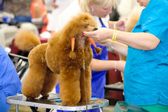 Groomer prepares dog to the show Stock Images