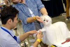 Groomer prepares dog to the show Stock Photos