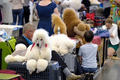 Groomer prepares dog to the show Royalty Free Stock Photos