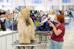 Groomer prepares dog to the show Royalty Free Stock Photography