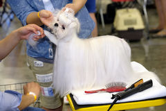 Groomer prepares dog to the show Stock Photography
