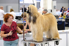 Groomer prepares dog to the show Royalty Free Stock Image