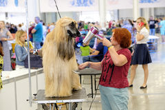 Groomer prepares dog to the show Stock Photos