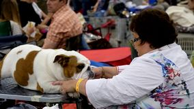 Groomer prepares dog to the show stock video