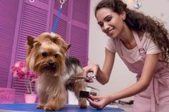 Groomer profesional que sostiene el peine y las tijeras mientras que prepara el perro en salón del animal doméstico foto de archivo libre de regalías