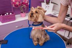 Groomer que guarda a escova de dentes ao escovar os dentes do cão pequeno no salão de beleza do animal de estimação imagem de stock