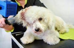 Groomer que hace el brushing el pelo de un pequeño perro blanco imagen de archivo