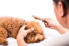 Groomer que peina el perro, con la piel de-enredada pegada en el peine Imagenes de archivo