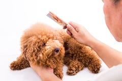 Groomer que peina el perro, con la piel de-enredada pegada en el peine Foto de archivo libre de regalías