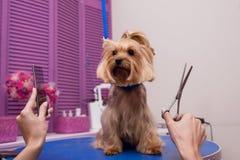 Groomer que sostiene las tijeras y el peine mientras que prepara el perro en salón del animal doméstico Fotos de archivo