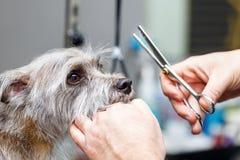 Groomer scherp hondenbont met scharen stock afbeelding