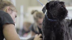 Groomer som blåser hår från Schnauzerhund med special utrustning lager videofilmer