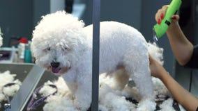 Groomer som klipper en hund Bichon Frise med en hårclipper i en veterinärklinik arkivfilmer