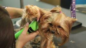 Groomer som klipper en yorkshire terrier med en hårclipper i en veterinärklinik stock video
