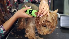 Groomer trimming a yorkshire terrier with a hair clipper in a veterinary clinic. stock video