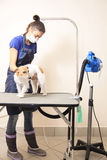 The groomer uses a hair dryer to dry dog. Stock Images