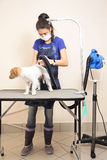 The groomer uses a hair dryer to dry dog. Stock Photo