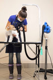The groomer uses a hair dryer to dry dog. Stock Photos