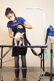 The groomer uses a hair dryer to dry dog. Stock Photography