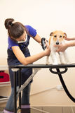 The groomer uses a hair dryer to dry dog. Royalty Free Stock Images