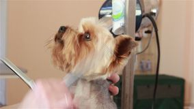 Groomer using thinning shears to cut hair from muzzle of Yorkshire terrier stock video