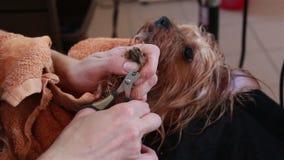 Groomeren bearbetar klorna som Yorkshire Terrier spikar lager videofilmer