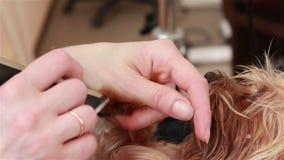 Groomeren bearbetar Yorkshiren Terrier spikar stock video