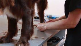 Groomeren klipper håret på benspanieln arkivfilmer