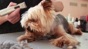 Groomeren klippte hår på öronen Yorkshire Terrier lager videofilmer