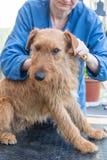 Groomerfrau trimmt den irisches Terrier-Hund stockfotos