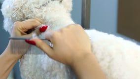 Groomerhårkamhunden Bichon Frise i barberaren shoppar för hundkapplöpning stock video