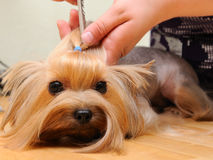 Grooming. Yorkshire terrier  getting his hair cut at the groomer Stock Images