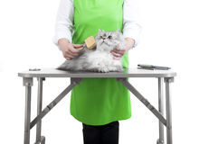 Grooming. Master of grooming combs gray Persian cat on the table for grooming on a white background Stock Photography
