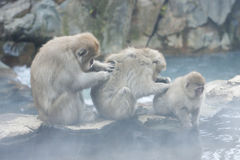 Grooming. Snow monkeys grooming and relaxing in hot spring in Jigokudani, Japan Stock Photo