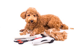 Grooming accessories of clipper, scissor, comb, brush with poodl Royalty Free Stock Photography