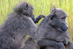 Grooming baboon. Stock Photo
