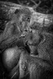 Grooming baboons, Kruger National Park, South Africa Royalty Free Stock Photo