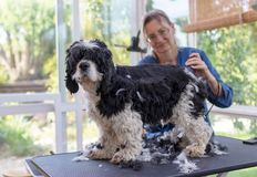 Grooming the back of the American Cocker Spaniel Dog. By Electric Hair Cutting Machine. Dog is standing on the grooming table. All potentional trademarks are royalty free stock photos