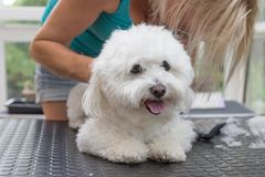 Grooming back of the white Bolognese dog. Horizontally. Grooming back of the white Bolognese dog. Dog is lying on the grooming table and looking at the camera royalty free stock images